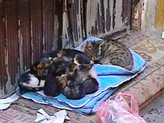 And it pays off!  Look at this dachshund sleeping under a pile of kittens!