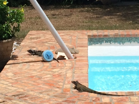 These guys were chillin' by the pool.  I looked away for one second and they had taken off, nowhere to be seen.